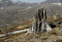 Stump sheered off by blast from Mt. St. Helens
